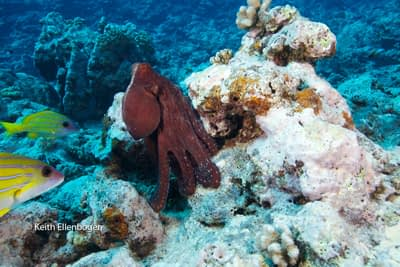 moorea octopus stands tall: Photo © Keith Ellenbogen