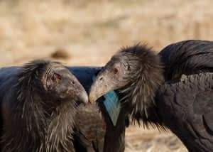 Condor Pair by TIanne Strombeck