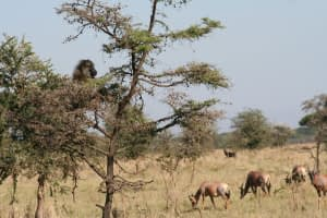 baboon and topis on the serengeti